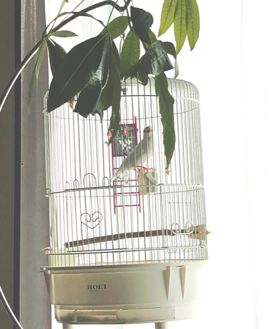 文鳥 幸福 幸運を呼ぶ風水