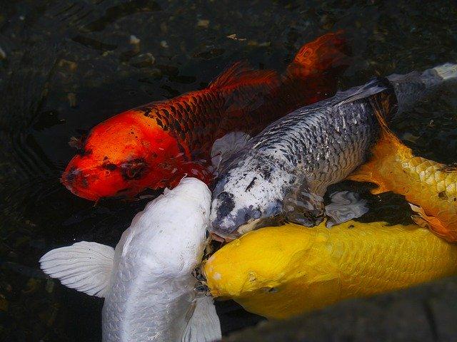 金運アップ・金の鯉4